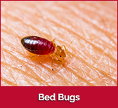 bedbugs-box